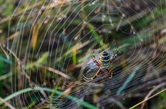 KvinnligWasp spindel Fotografering för Bildbyråer