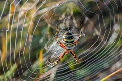 KvinnligWasp spindel Arkivfoto