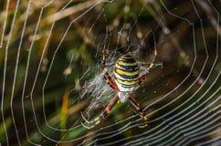 KvinnligWasp spindel Royaltyfri Bild