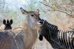 KvinnligWaterbuck antilop, Afrika Arkivbilder