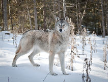 kvinnligwolf Royaltyfria Foton