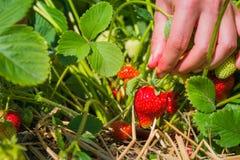 Kvinnor räcker plockning av den nya organiska jordgubben i fältet Royaltyfri Foto