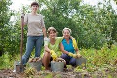 Kvinnor skördade potatisar Arkivbild