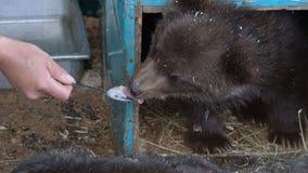 Kvinnors skeden för handmatningar med mjölkar gröngölingen för den havregrötKamchatka brunbjörnen lager videofilmer