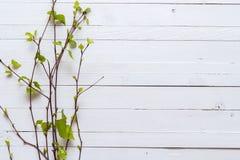 Kvist av björkträd med sidor som blomstrar precis på vit painte Royaltyfri Foto