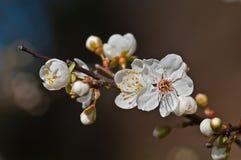 Kvist av blomningplommonet royaltyfri bild