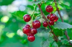 Kvist av den röda vinbäret på en buske Royaltyfria Foton