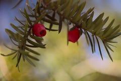 Kvist av den vanliga Taxusbaccataen för idegransträ med röda fruktkottar royaltyfria foton