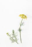 Kvist av dill med blommor på den vita gamla tabellen Royaltyfri Bild