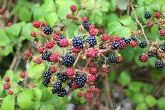 Kvist av frukt på björnbärbusken royaltyfri foto