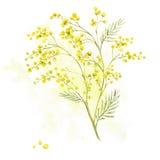 Kvist av mimosan, vårvattenfärgbakgrund Royaltyfria Bilder