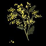 Kvist av mimosan, vårvattenfärgbakgrund Fotografering för Bildbyråer