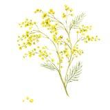Kvist av mimosan, vårvattenfärgbakgrund Royaltyfri Foto