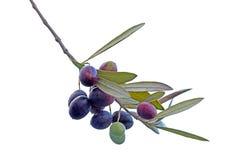 Kvist med svarta oliv som isoleras på vit bakgrund Arkivfoton