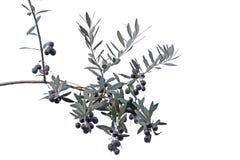 Kvist med svarta oliv som isoleras på vit bakgrund Royaltyfri Foto