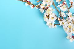Kvistar av aprikosträdet med blommor på blå bakgrund Begreppet av våren kom royaltyfri foto