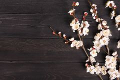 Kvistar av aprikosträdet med blommor på blå bakgrund Begreppet av våren kom arkivfoto