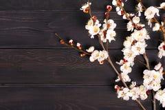 Kvistar av aprikosträdet med blommor på blå bakgrund Begreppet av våren kom royaltyfria foton
