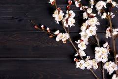 Kvistar av aprikosträdet med blommor på blå bakgrund Begreppet av våren kom royaltyfri bild