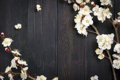Kvistar av aprikosträdet med blommor på blå bakgrund Begreppet av våren kom royaltyfria bilder
