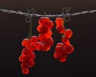Kvistar av den röda vinbäret arkivbild