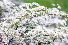 kvistar av den vita busken Spirea Royaltyfri Fotografi