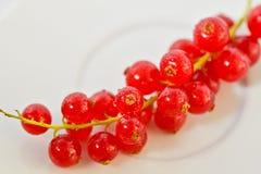 Kvistvinbärbär Royaltyfri Bild