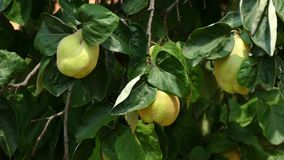 Kvitten Cydoniaoblongaträd som svänger i vinden arkivfilmer