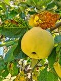kvitten höstfrukter royaltyfri foto