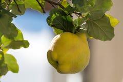 Kvittenträd med mogen frukt Gul mogen kvitten Kvitten är klar för att skörda arkivfoton