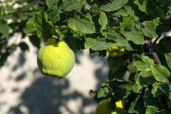 Kvittenträd med mogen frukt Gul mogen kvitten Kvitten är klart f royaltyfri foto