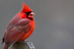 Kvittra kardinal Arkivbilder