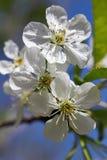 Kwaśny czereśniowy drzewo kwitnie w wiośnie Fotografia Royalty Free