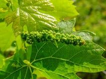 Kwaśni winogrona i winograd Zdjęcia Stock