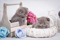 Kwaadwillige grijze Schotse katjes na een actief spel Het slapen Schotse Vouwenkatten Stock Foto's