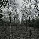 Kwadratowi drzewa Fotografia Stock