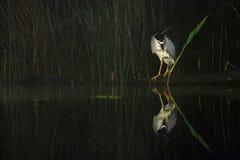 Kwak, Black-crowned Night Heron, Nycticorax nycticorax stock photography