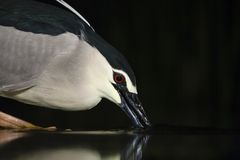 Kwak, Black-crowned Night Heron, Nycticorax nycticorax stock images
