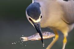 Kwak, Black-crowned Night Heron, Nycticorax nycticorax royalty free stock photography