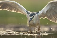 Kwak, Black-crowned Night Heron, Nycticorax nycticorax stock image