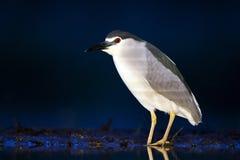 Kwak, Black-crowned Night Heron, Nycticorax nycticorax royalty free stock photos