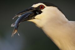 Kwak; Black-crowned Night Heron; Nycticorax nycticorax royalty free stock photos