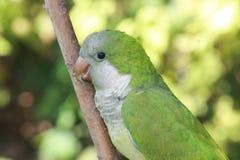 Kwakier papuga na gałąź Zdjęcie Stock