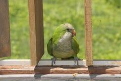 Kwakier papuga na ogrodzeniu Obraz Royalty Free