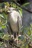 Kwakwa - bird of Heron Stock Image