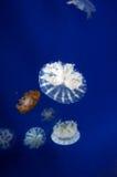 Kwallen in de wuhan polaire oceaanwereld van het gebied Stock Foto's