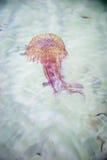 Kwallen die in een overzees zwemmen Royalty-vrije Stock Foto