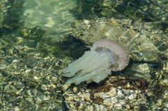 Kwallen die in ondiep oceaanwater dichtbij de rotsachtige kust bij het strand van Brighton le sands, Sydney, Australië zwemmen royalty-vrije stock foto's