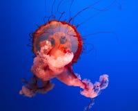 Kwallen het zwemmen Royalty-vrije Stock Fotografie