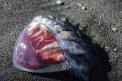 Kwallen op het zwarte zandstrand in IJsland royalty-vrije stock fotografie